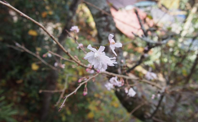 ジュウガツザクラ(十月桜)の花がちらほらと